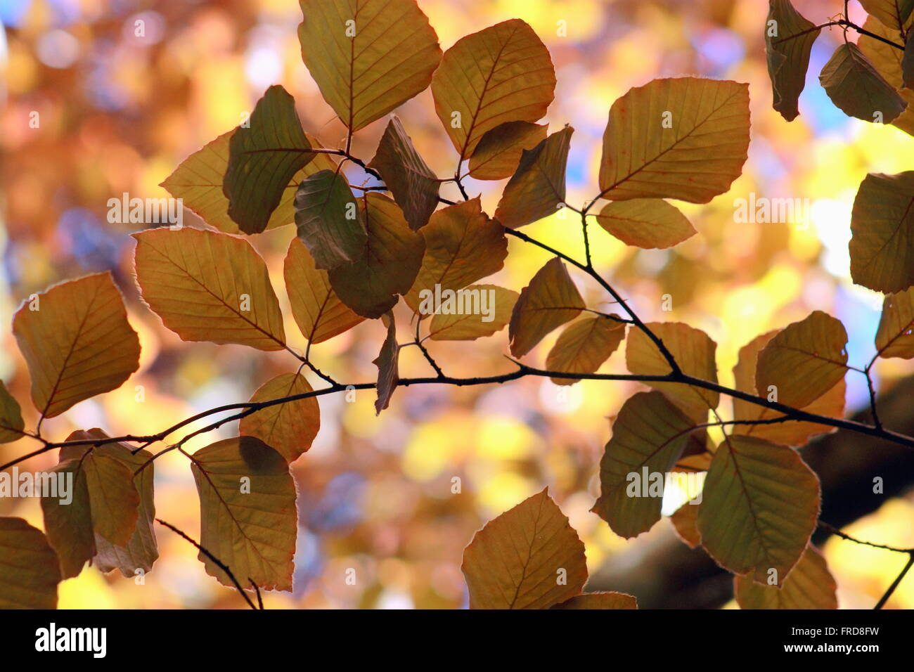 Copper Beech - Fagus Sylvatica - Stock Image