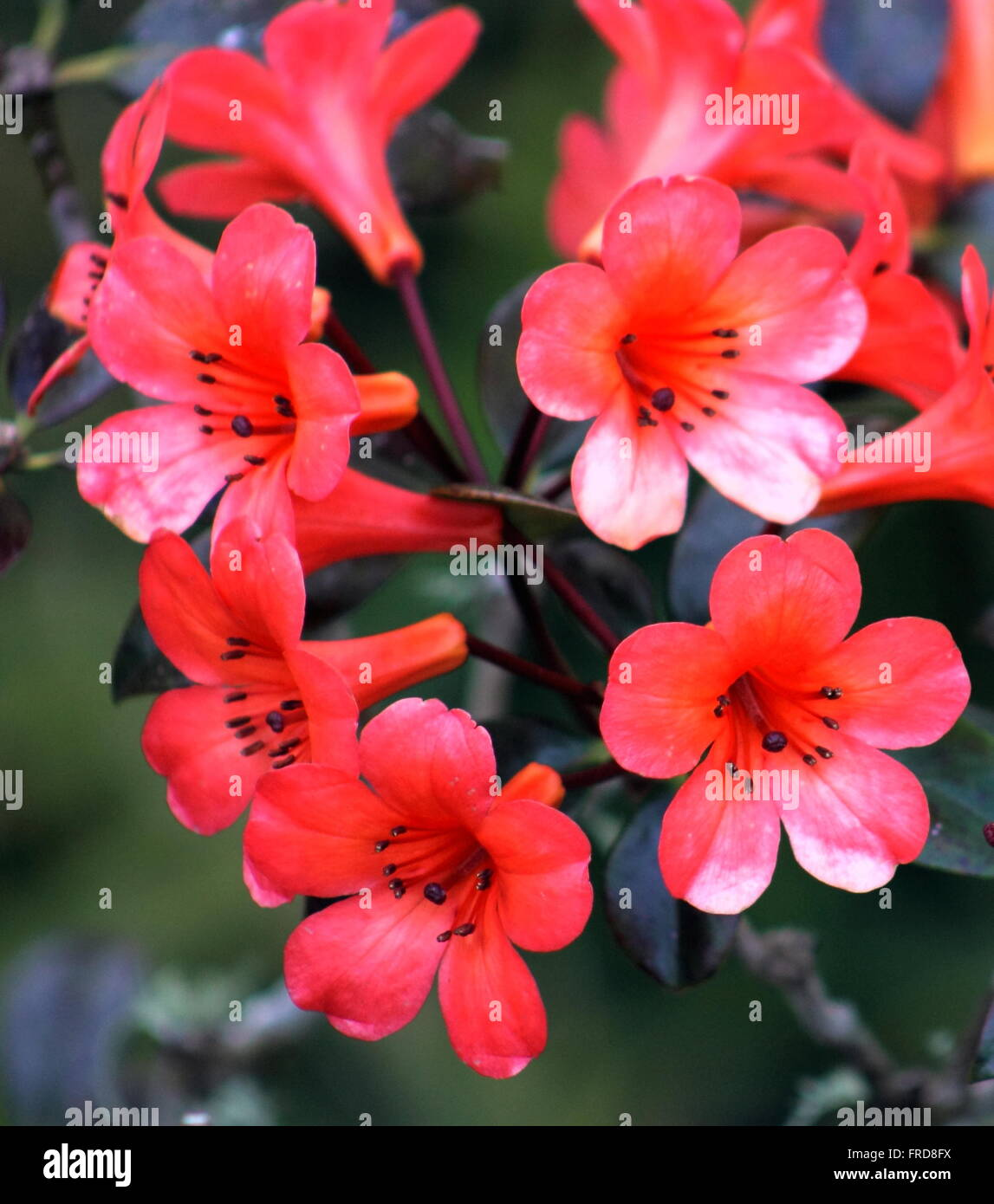 Vireya Rhododendron - Cyprian - Stock Image
