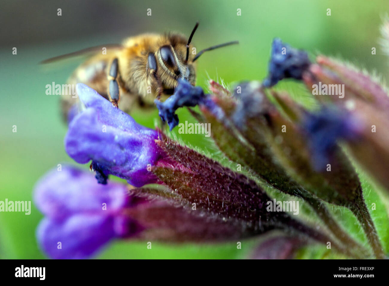 Pulmonaria officinalis, lungwort blue flower and bee - Stock Image