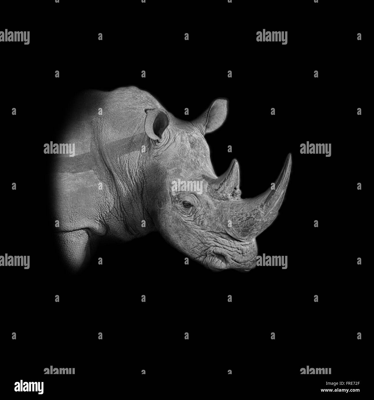 A dark monochrome portrait of a White Rhinoceros - Stock Image