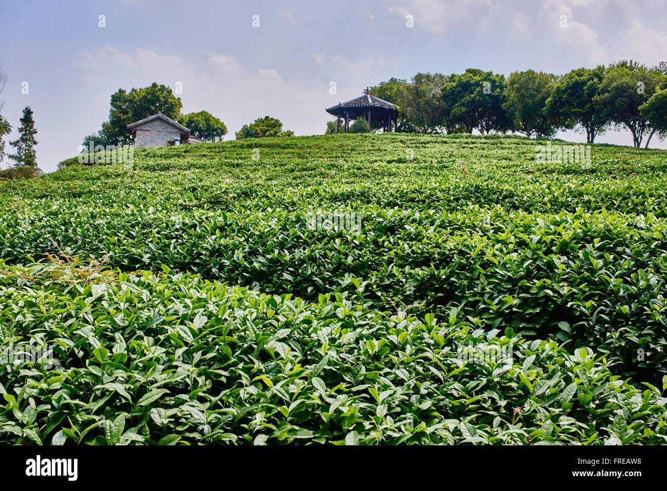 tea plants bush between Guilin and Yangshuo in Guangxi province  China - Stock Image