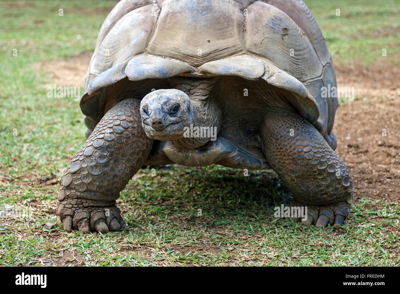 Aldabra giant tortoise (Aldabrachelys gigantea), captive, La Vanille Crocodile Park, Riviere des Anguilles, Mauritius - Stock Image