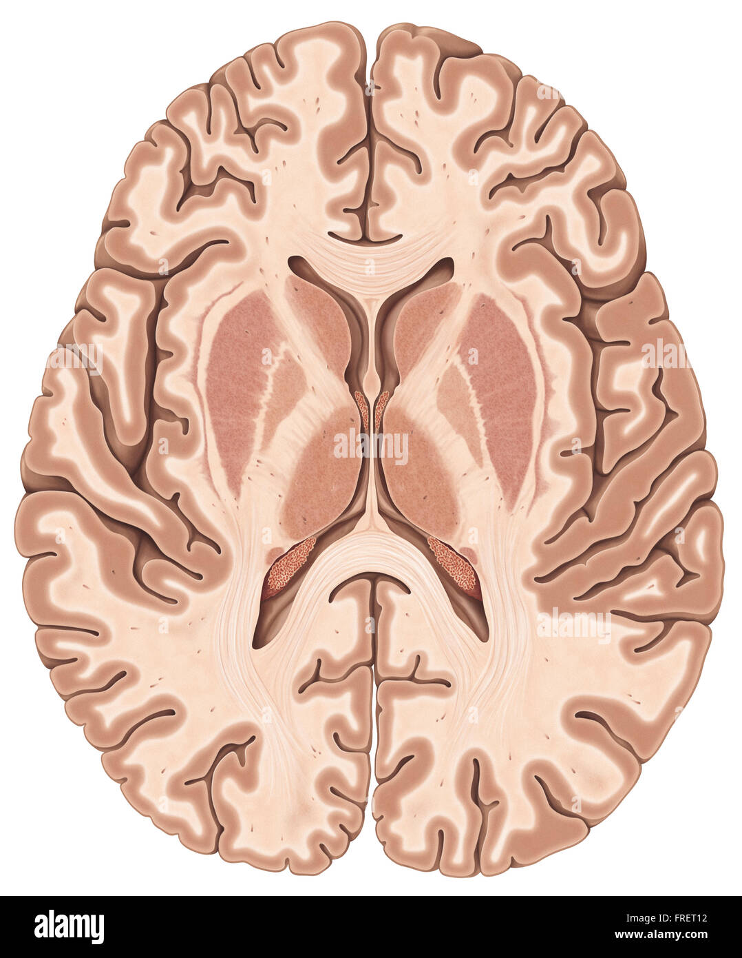 Human Brain Cut Out Stock Images Pictures Alamy