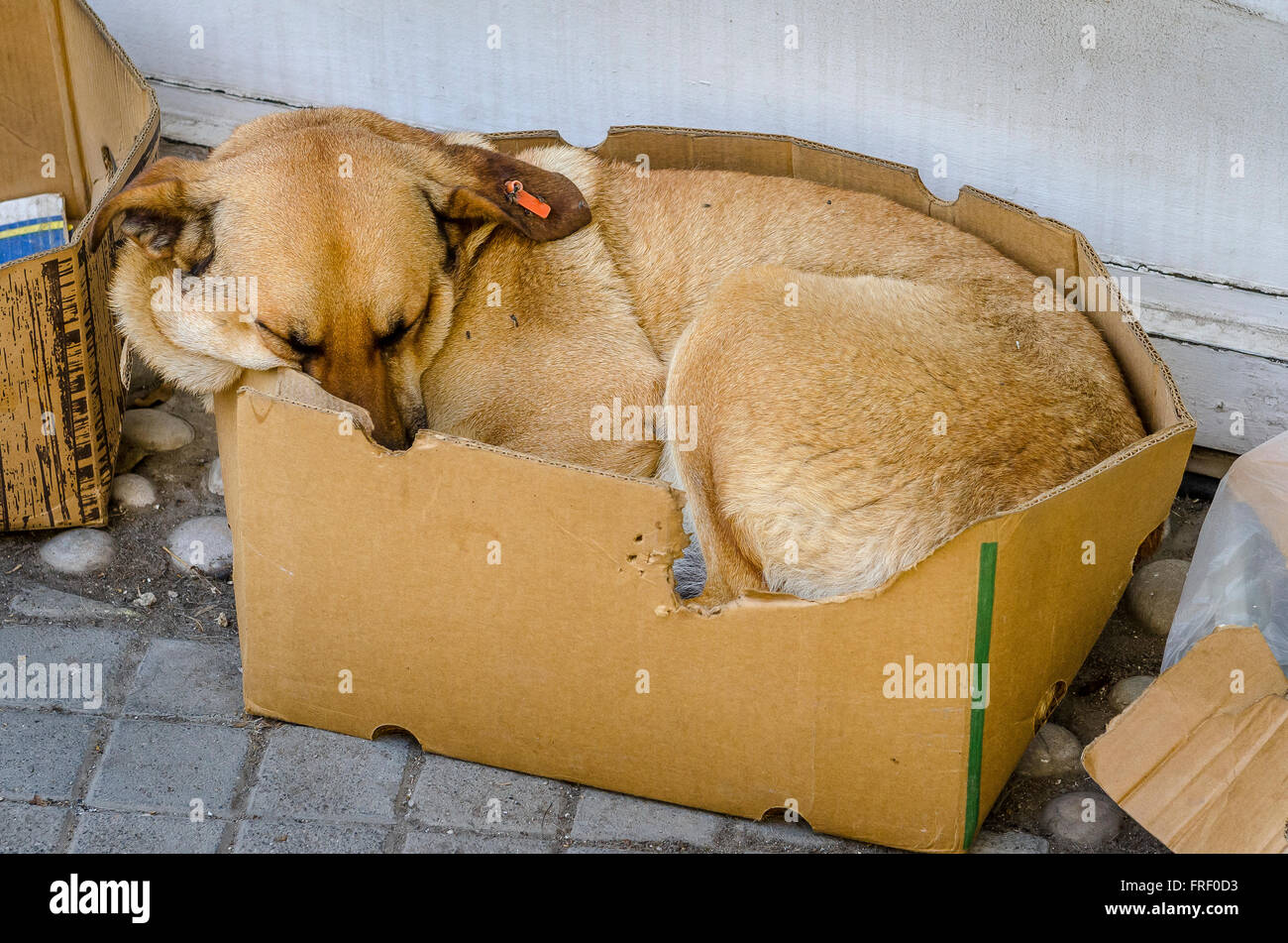 Dog sleeping rough on the street in a cardboard box. - Stock Image
