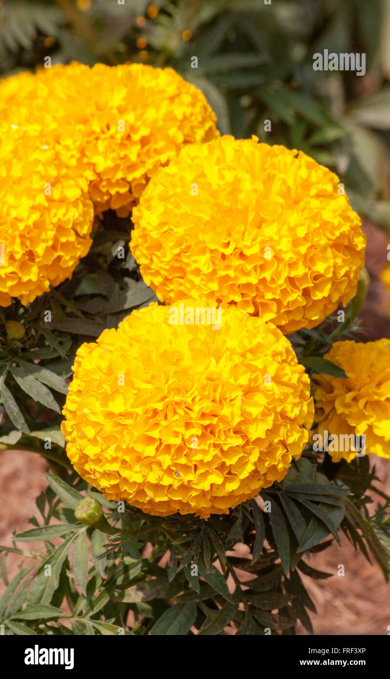 Marigold Yellow Color In Many Flowers Plant Stock Photo 100521310