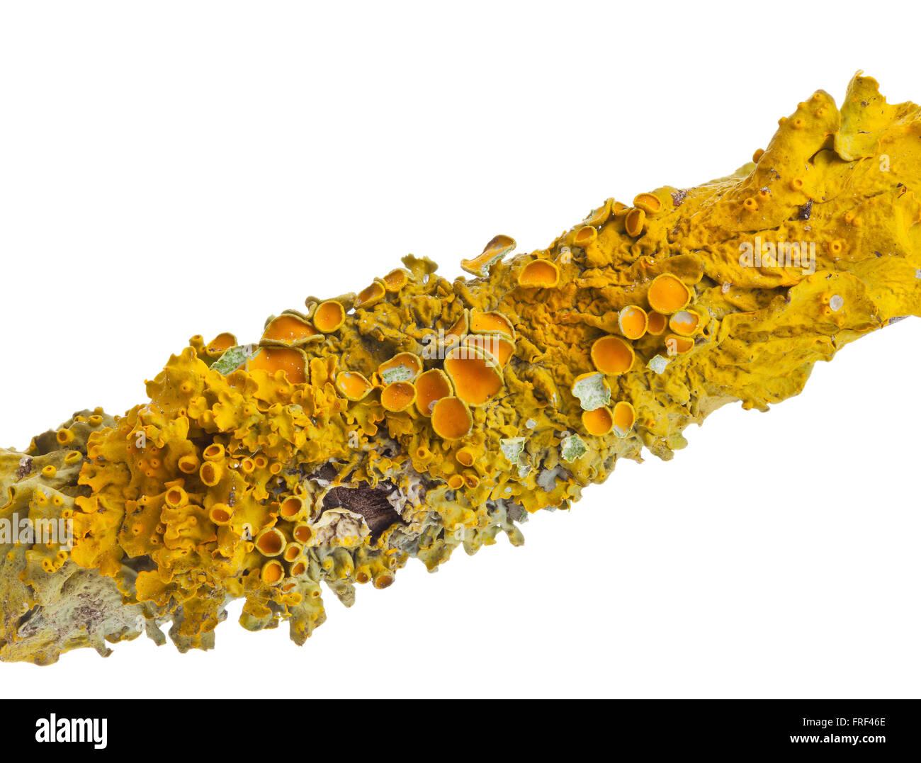 Common orange lichen (also yellow scale, maritime sunburst lichen or shore lichen) (Xanthoria parietina) on tree - Stock Image