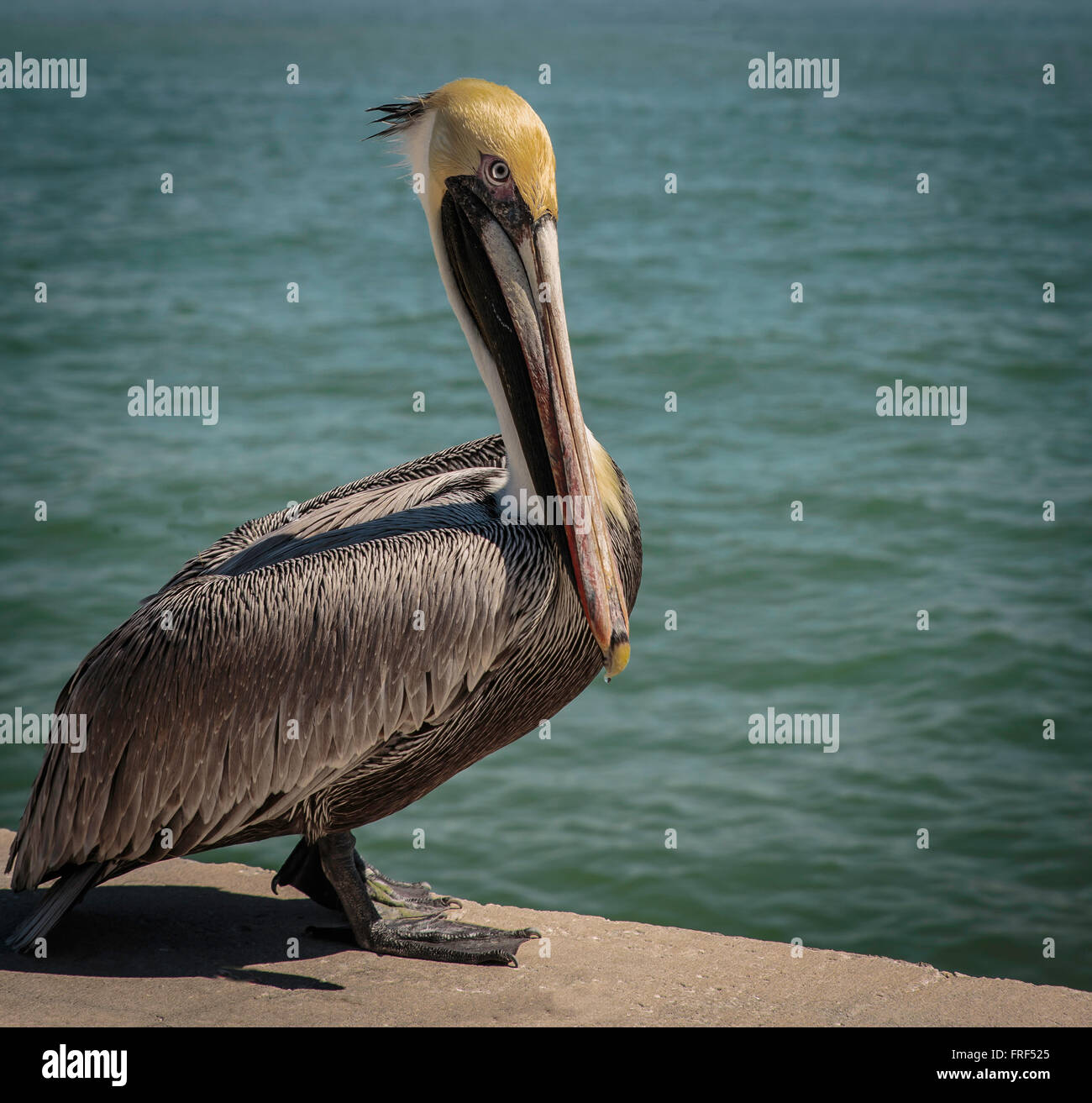 Pelican standing on a cement walk at water's edge Stock Photo