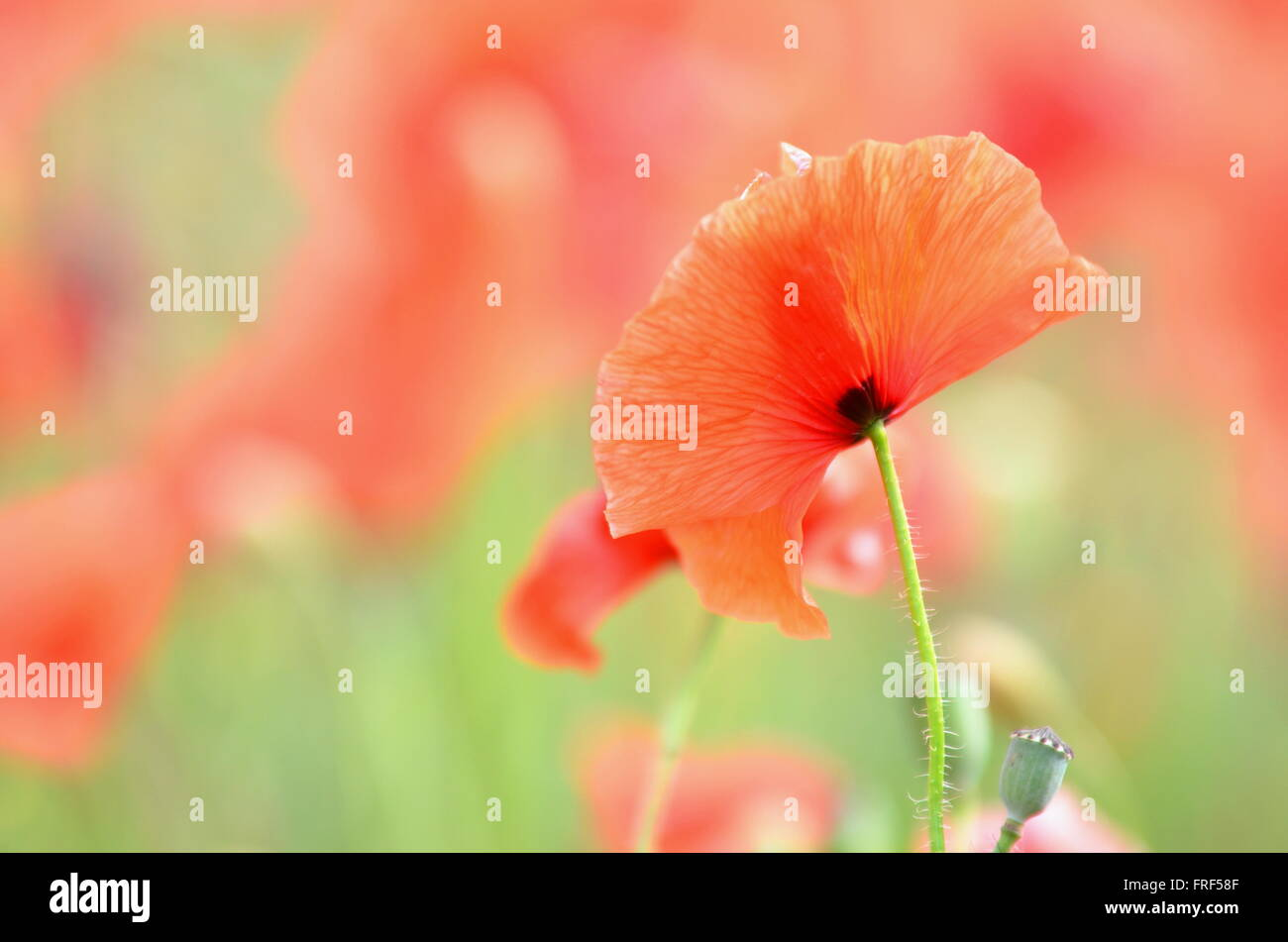 Delicate And Beautiful Poppy Flowers On A Field Stock Photo