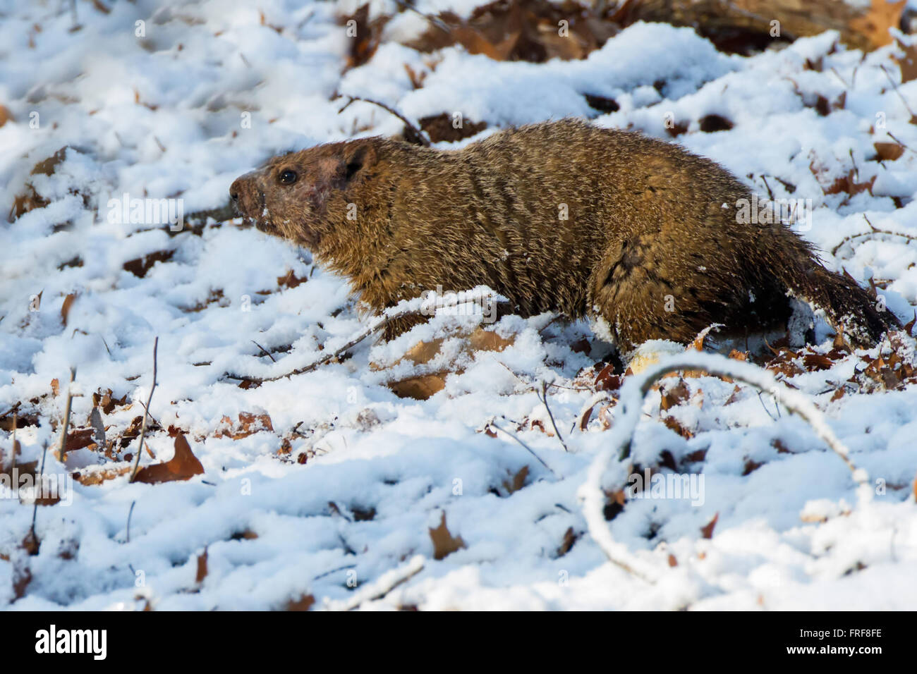 Woodchuck in the snow - Stock Image