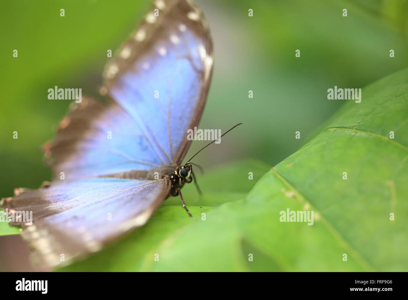 Blue Morpho Butterfly. - Stock Image