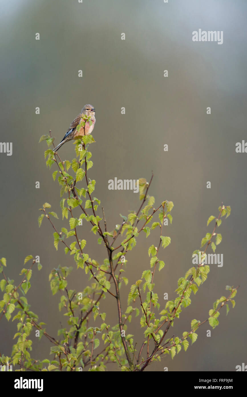 Common Linnet / Bluthaenfling ( Carduelis cannabina ), male bird in breeding dress, sings from top of a birch tree. - Stock Image