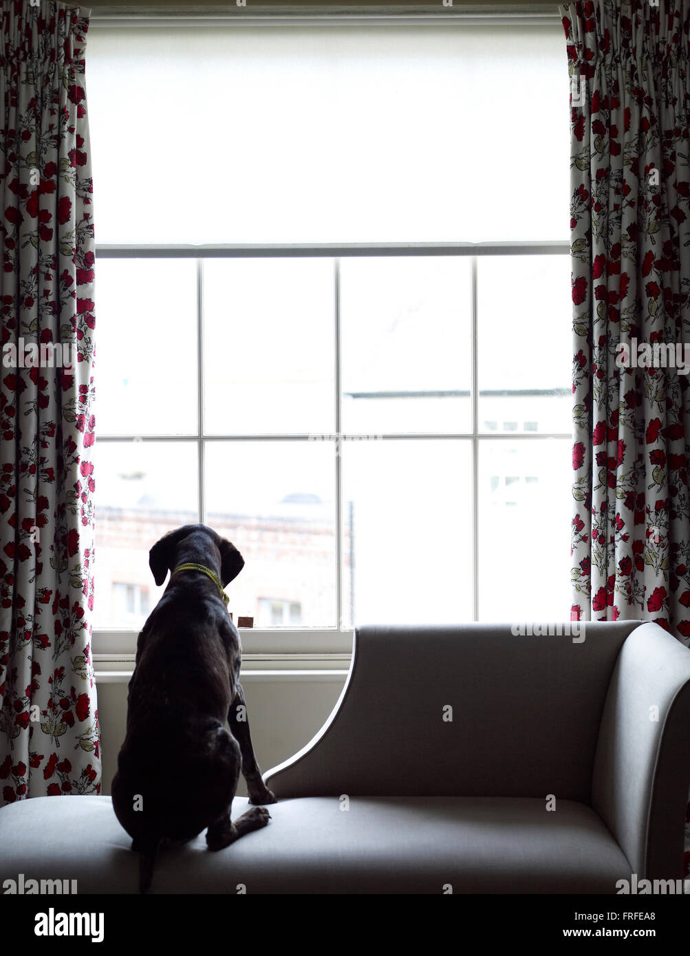 Dog looking out of window - Stock Image