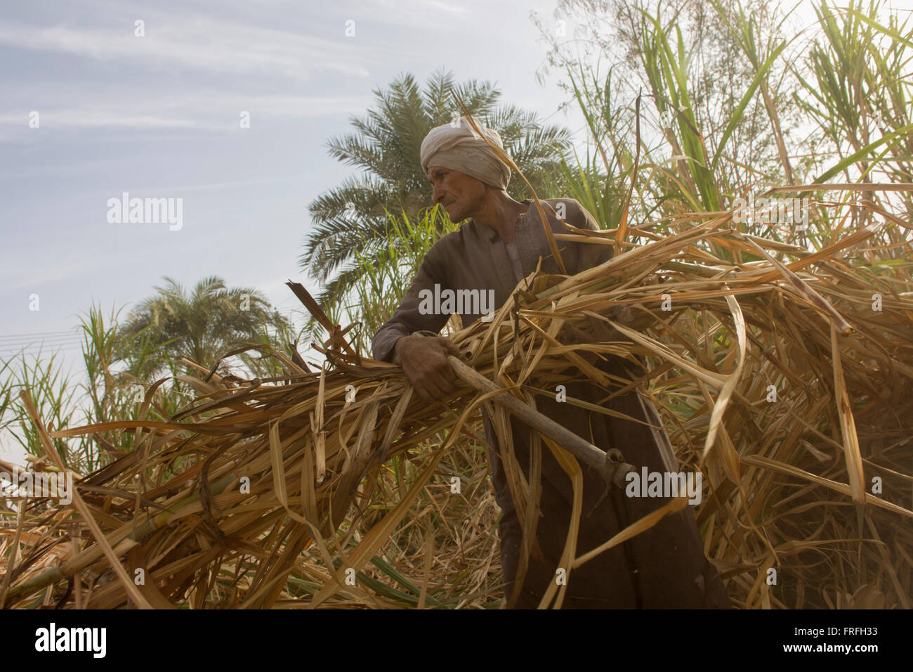 A local sugarcane cutter works in late-morning heat and dust near Qurna, a village on the West Bank of Luxor, Nile - Stock Image
