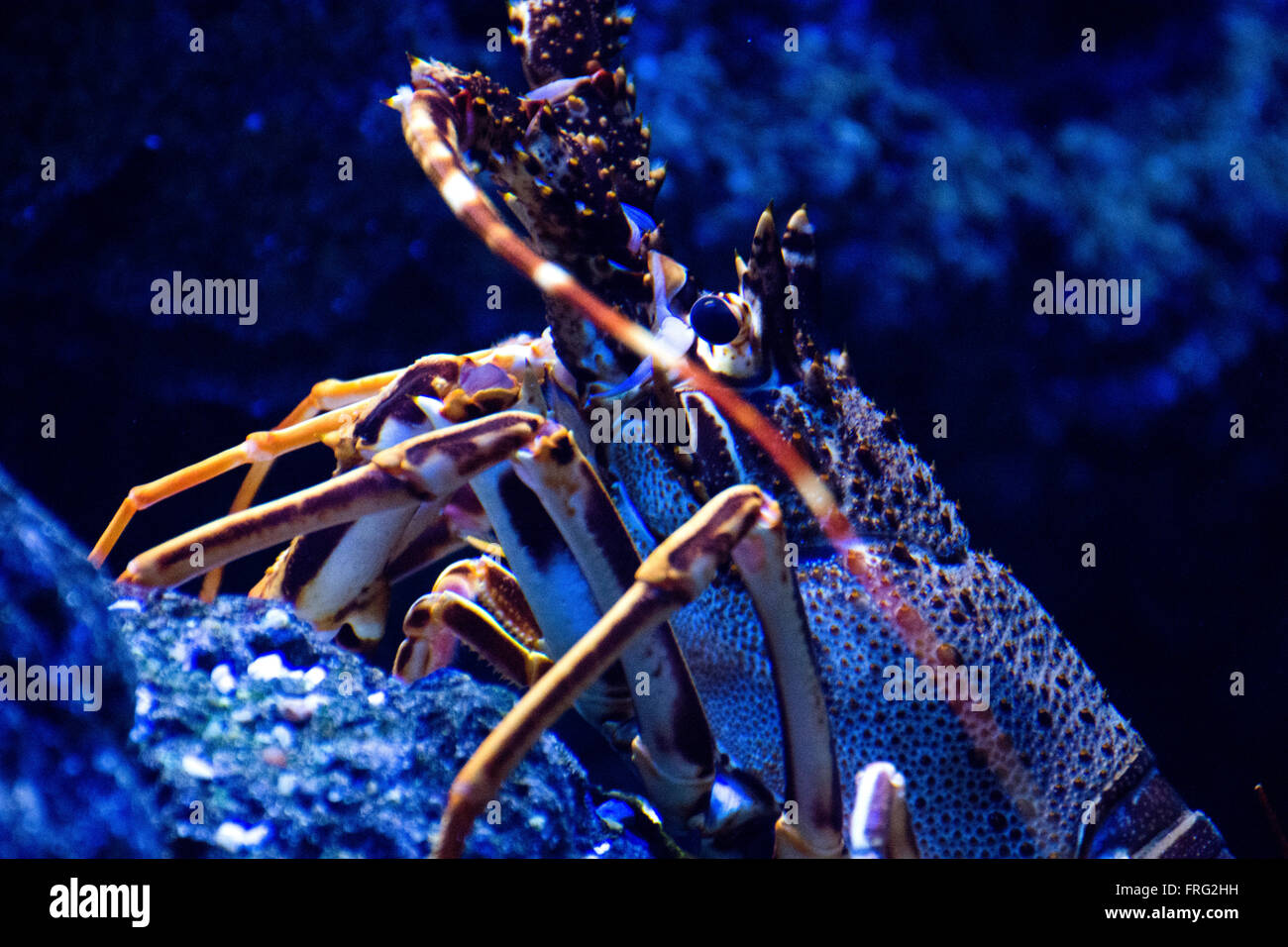 Gijon, Spain. 22nd March, 2016. Common Spiny Lobster (Palinurus Elephas) at Aquarium of Gijon World Water Day on - Stock Image