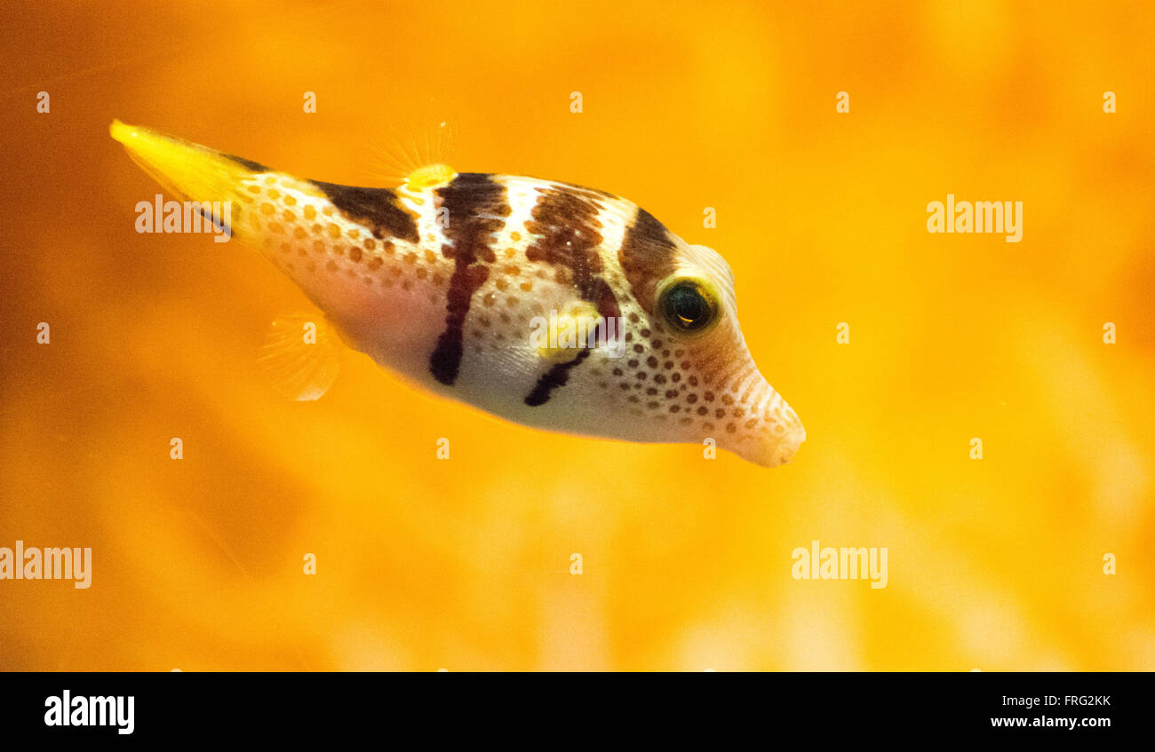 Gijon, Spain. 22nd March, 2016. Bennett's Shapnose Puffer (Canthigaster Bennetti) at Aquarium of Gijon World Water Day on March 22, 2016 in Gijon, Spain. Credit:  David Gato/Alamy Live News Stock Photo