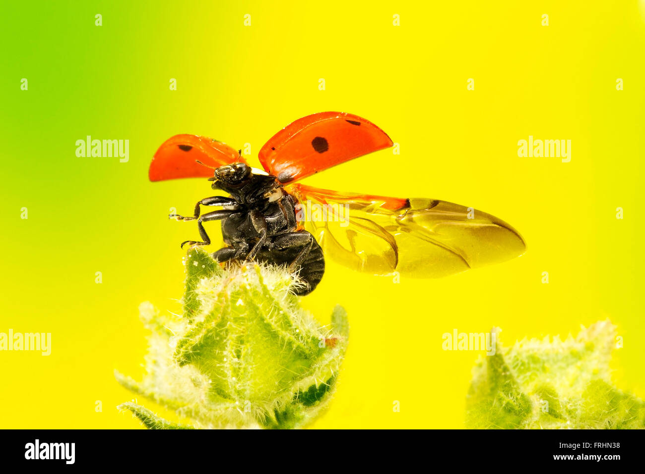 7 spot ladybird flying off a wild plant - Stock Image
