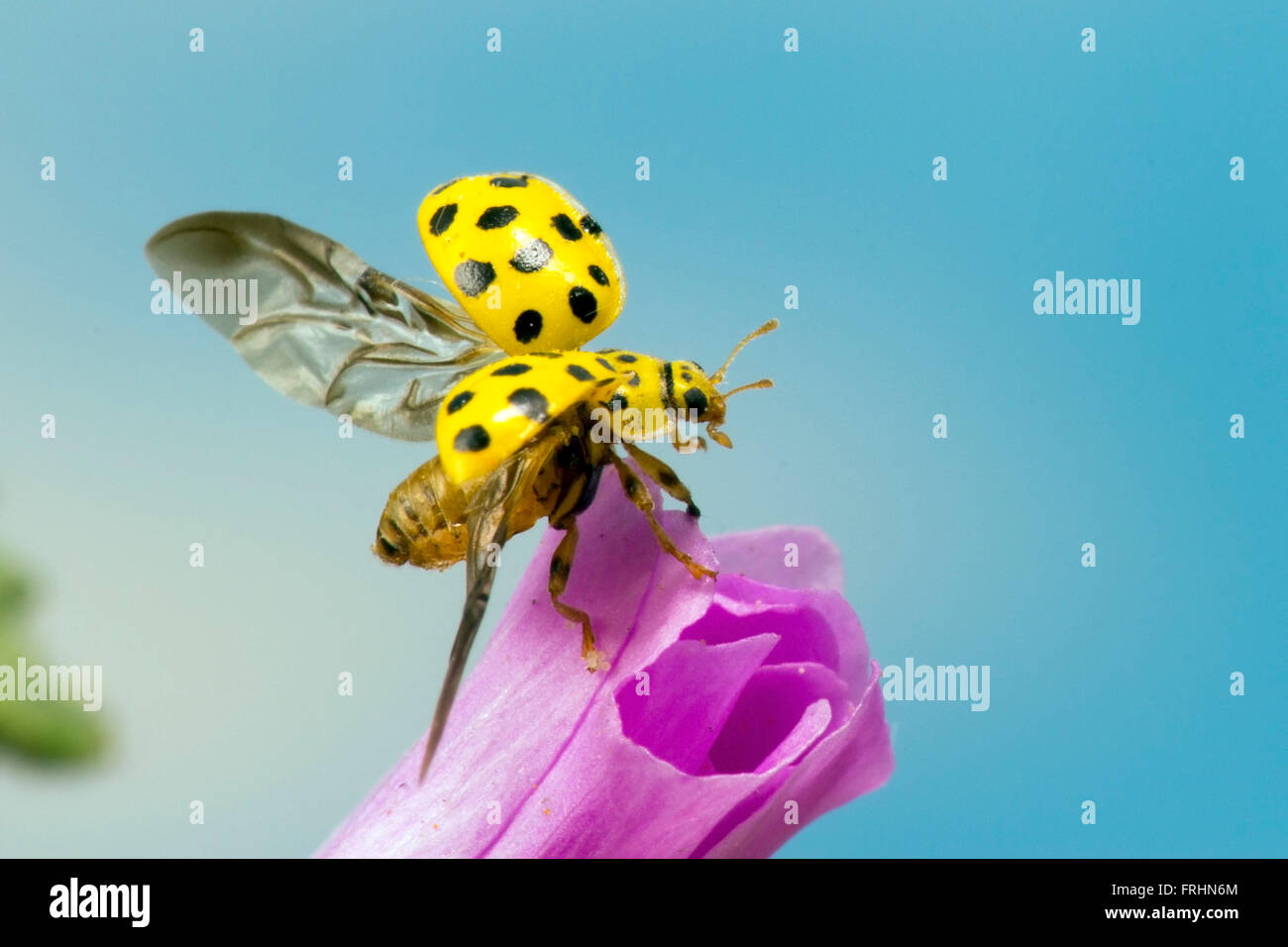 A 22 spot ladybird about to fly off - Stock Image