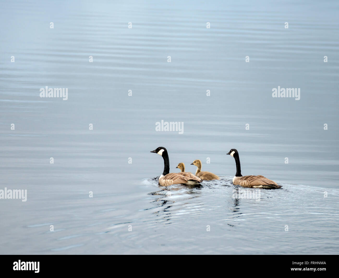 Canada goose with chicks - Stock Image