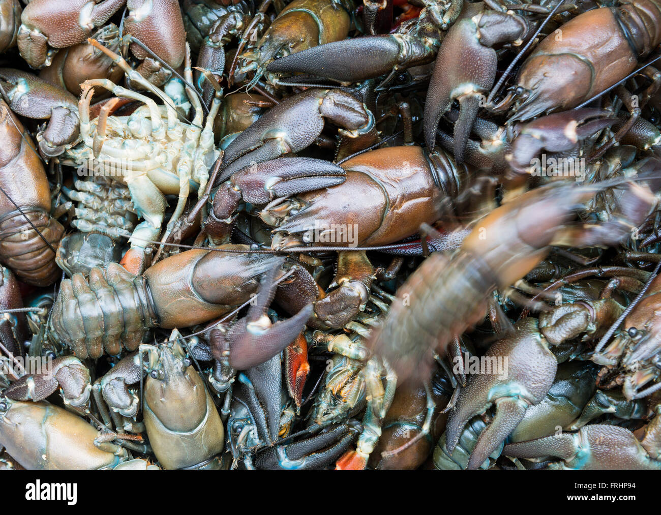Living crayfish - Stock Image