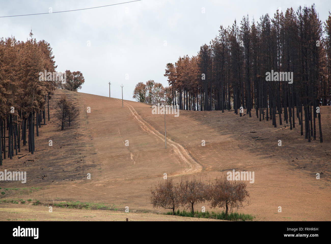 hill slope after forest fire with burnt conifers to the sides of aisle for power line, country road, strip of fresh - Stock Image