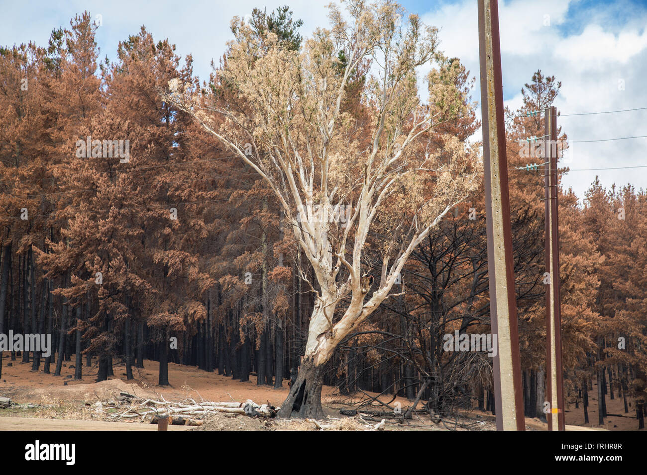 conifers and single eucalyptus tree after forest fire, electrical poles and wires - Stock Image