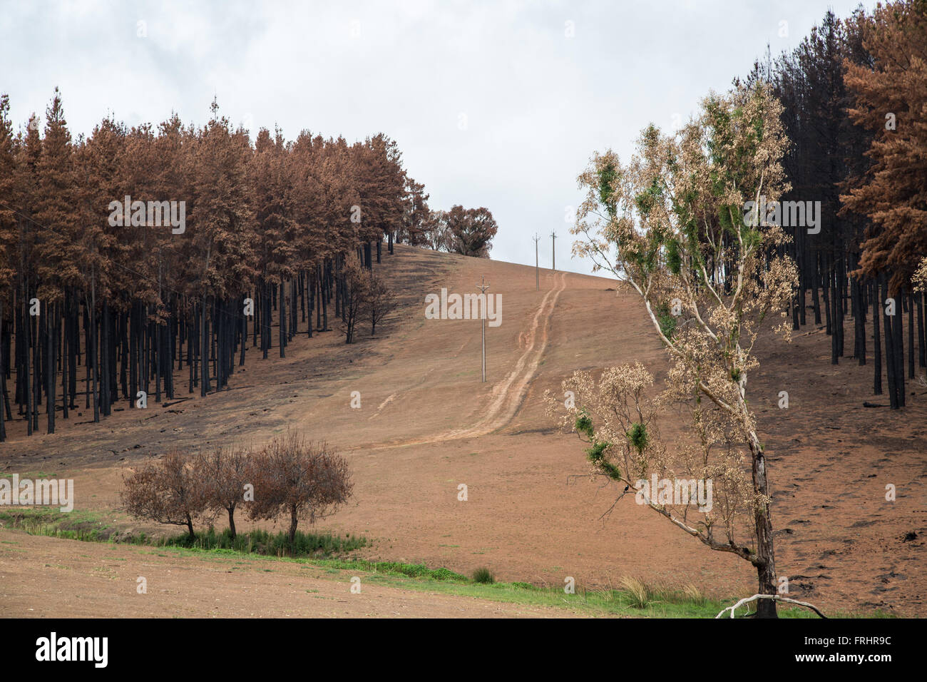 hill slope after forest fire with burnt conifers , aisle for power line, country road, strip of fresh grass below, - Stock Image