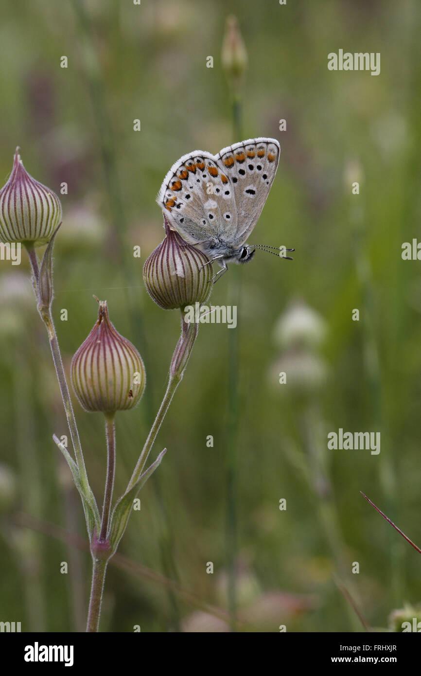 Blue Argus, Aricia anteros, underside - Stock Image