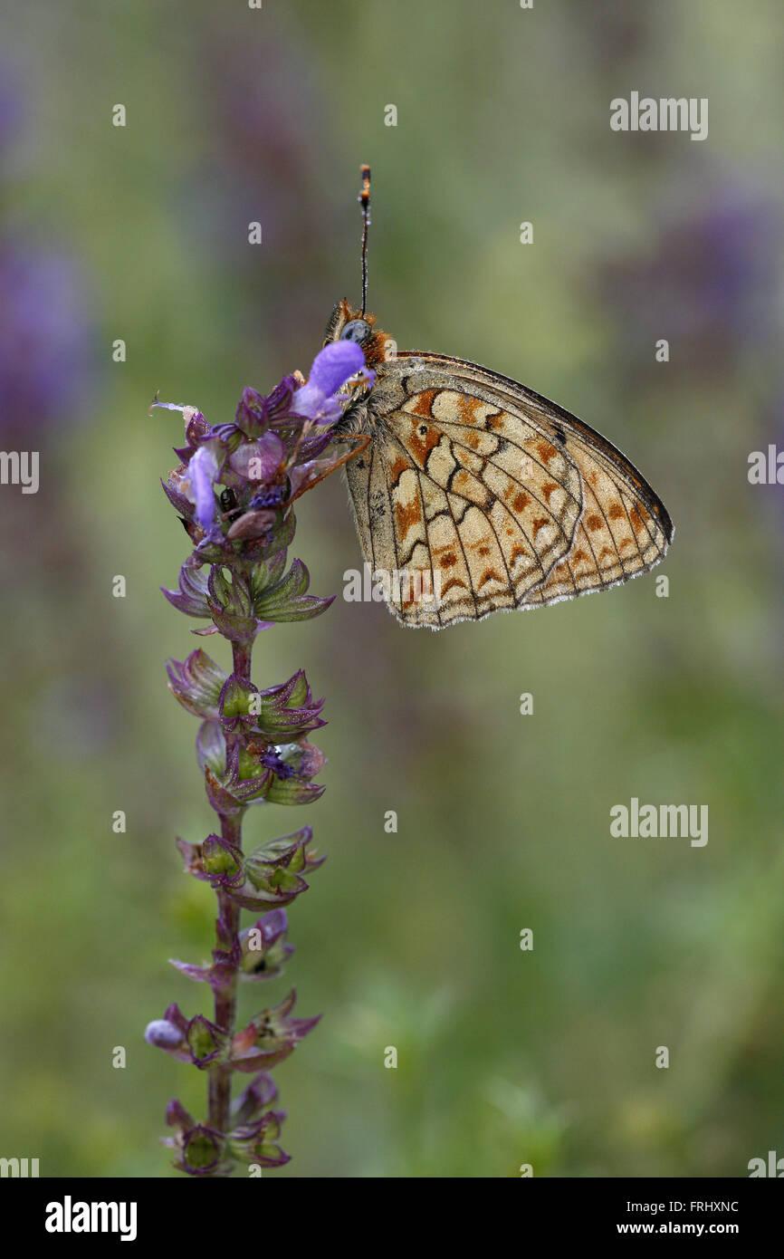 Niobe Fritillary, Argynnis niobe - Stock Image
