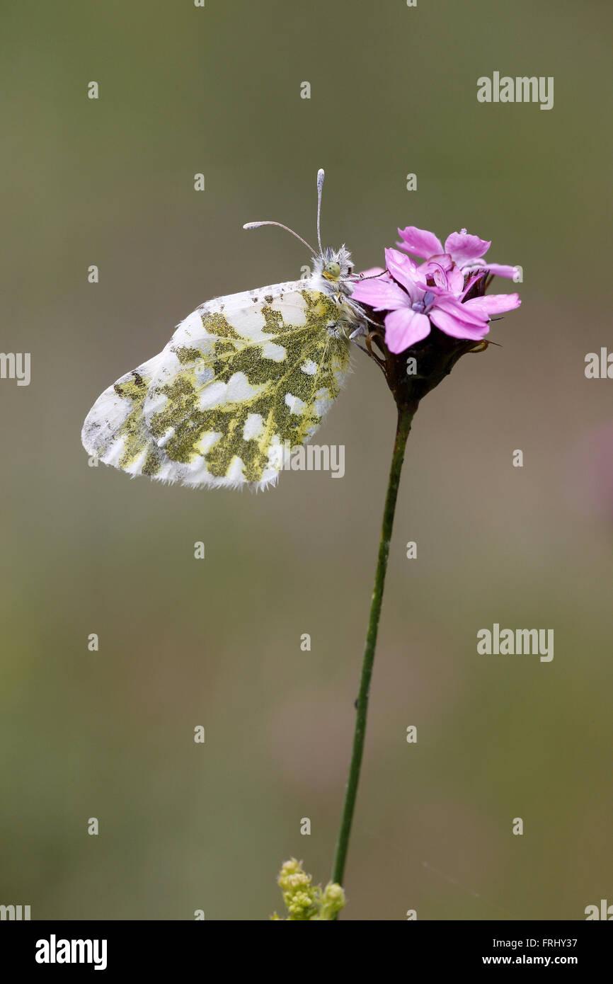 Eastern Dappled White, Euchloe aunsonia - Stock Image