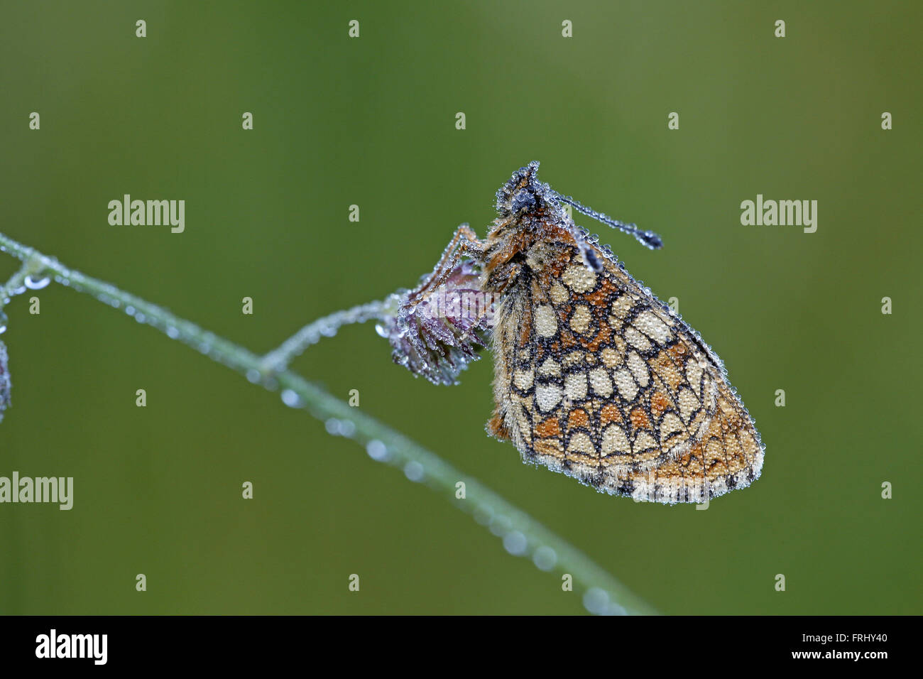 Heath Fritillary, Melitaea athalia, at dawn, covered in dewdrops - Stock Image