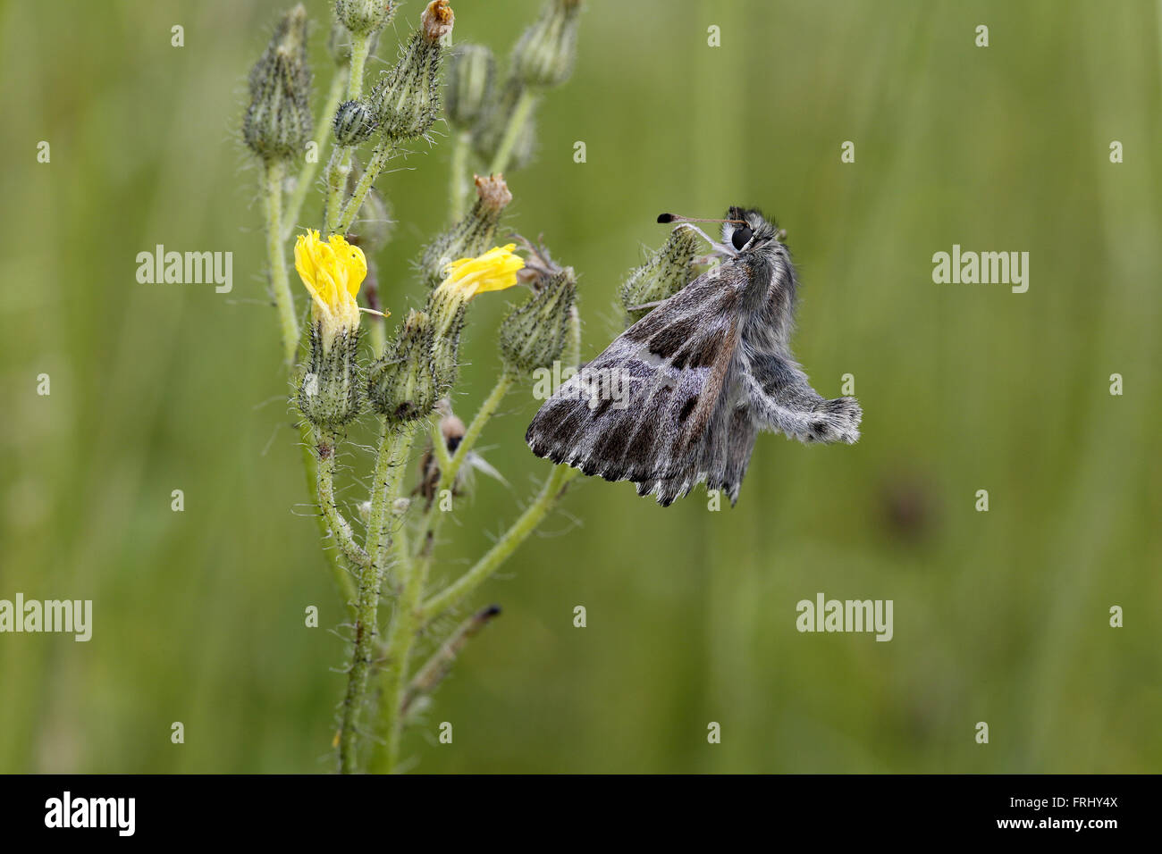 Tufted Marbled Skipper, Carcharodus flocciferus Stock Photo