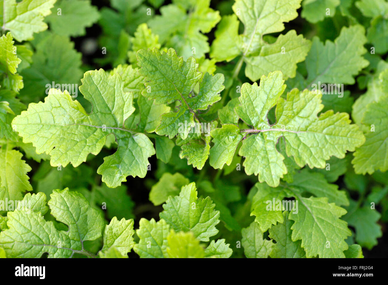 Mustard plants growing, sinapis alba, Brassica Alba or Brassica Hirta, grown for seed or leaves used as a cooking - Stock Image