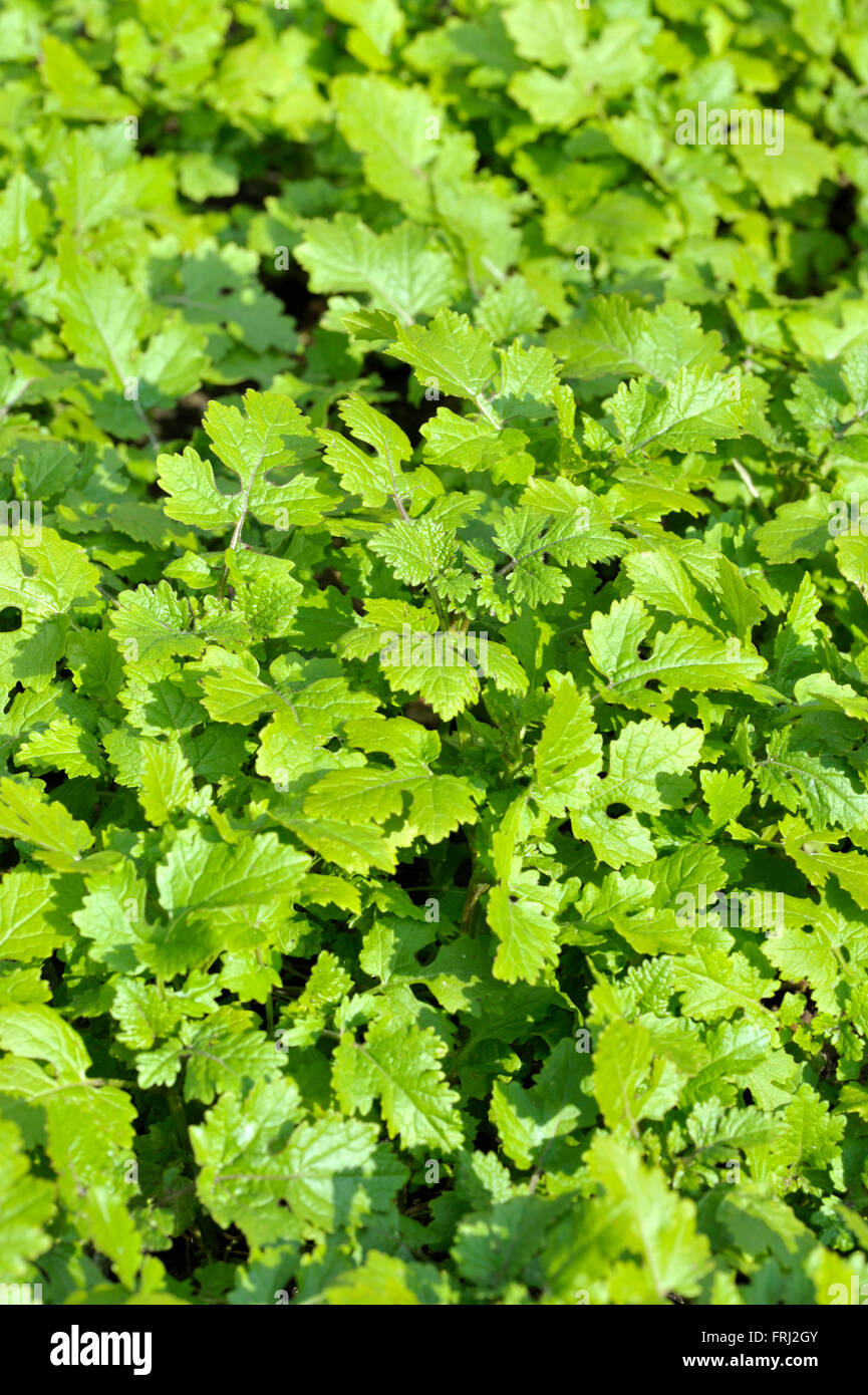 Mustard plants growing, sinapis alba, Brassica Alba or Brassica Hirta, grown for seed or leaves used as a cooking Stock Photo