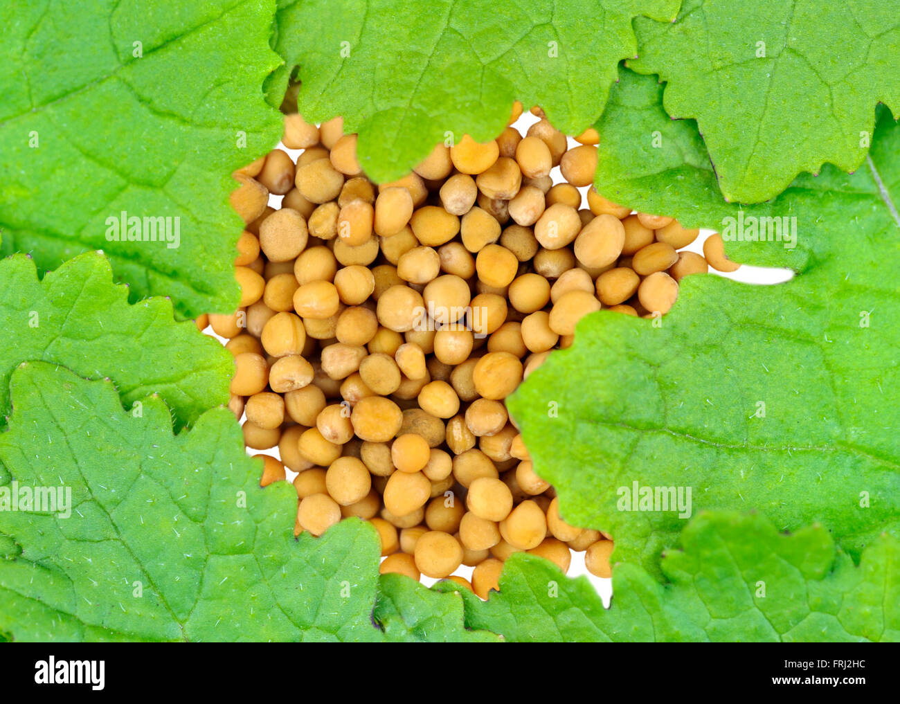 Yellow Mustard seeds and leaves also called White Mustard, Sinapis Alba, Brassica Alba or Brassica Hirta, food ingredients. - Stock Image