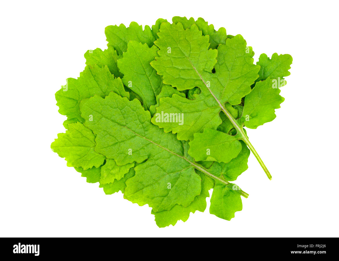 Mustard leaves also called White Mustard, Sinapis Alba, Brassica Alba or Brassica Hirta and used as a culinary ingredient. - Stock Image
