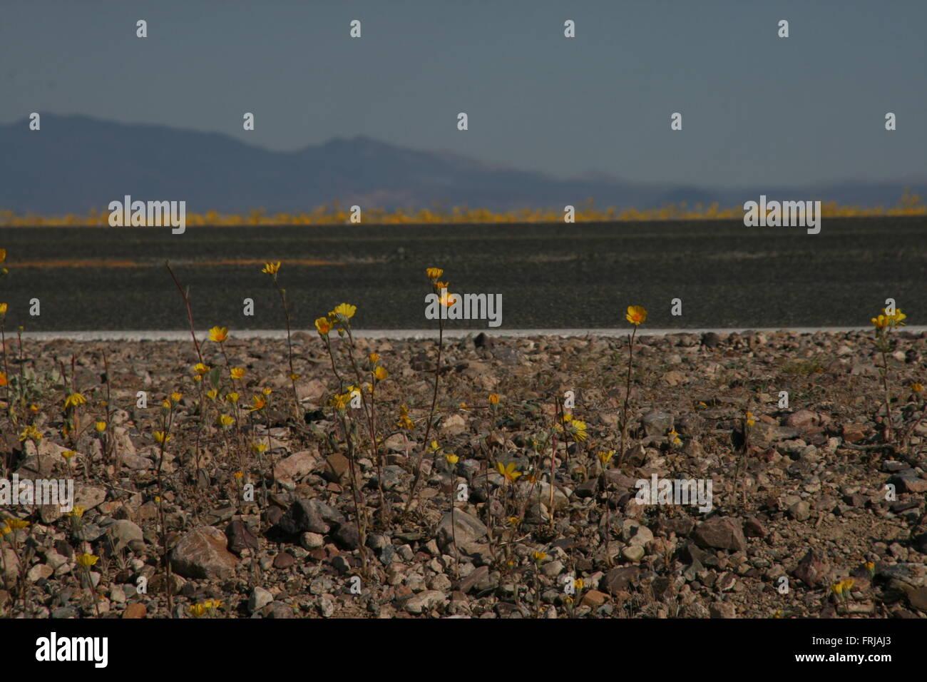 Nevada super bloom flowers - Stock Image