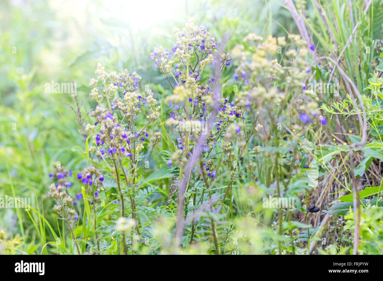 Beautiful wild blue and light flowers in june - Stock Image