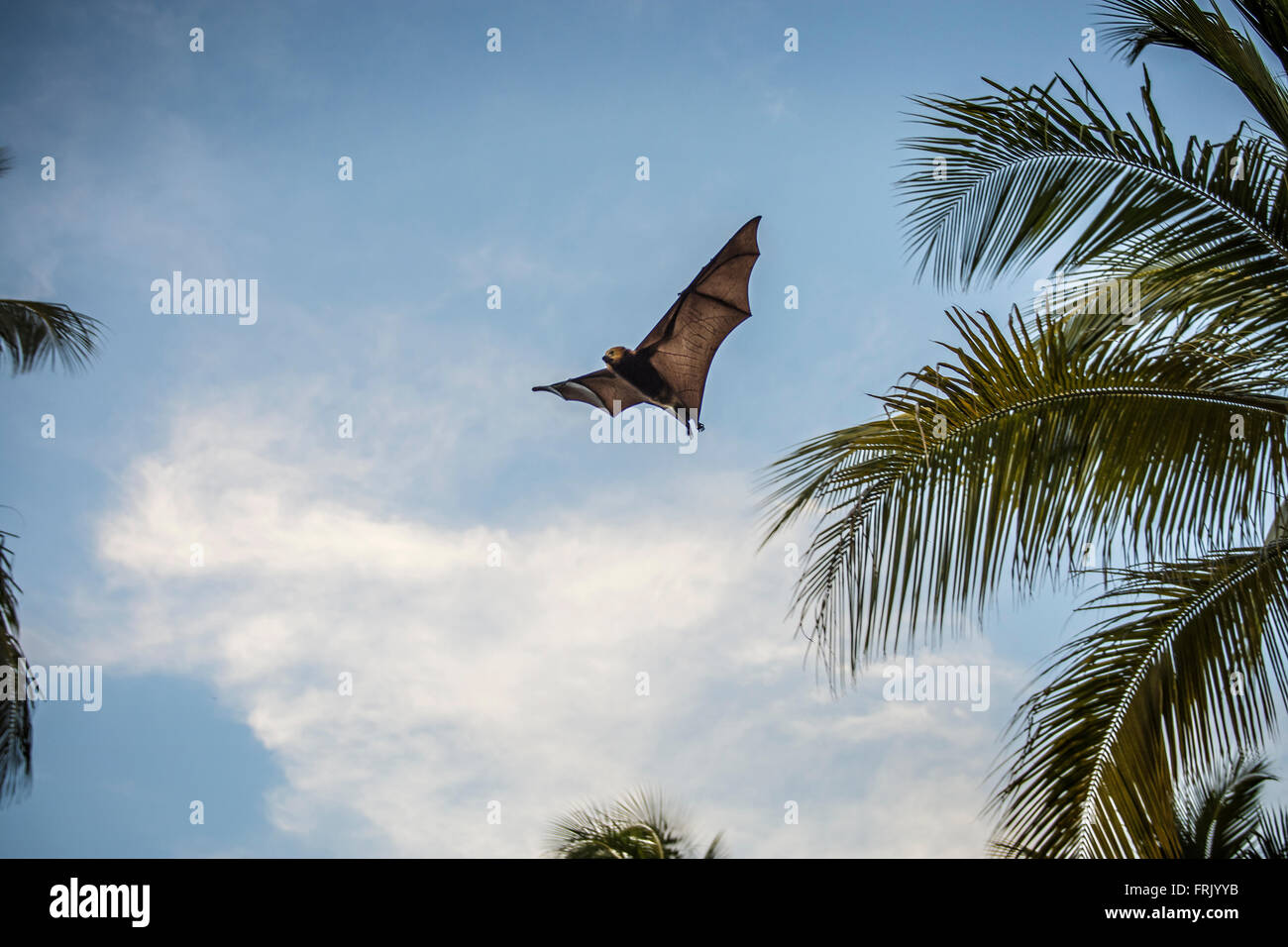 Mauritius bat - Stock Image