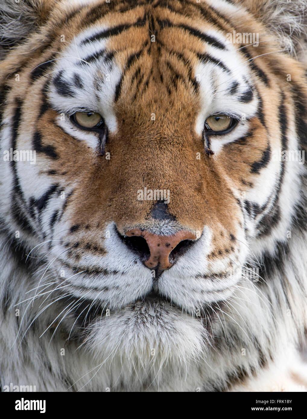 Female Amur (Siberian) tiger (extreme close-up) - Stock Image