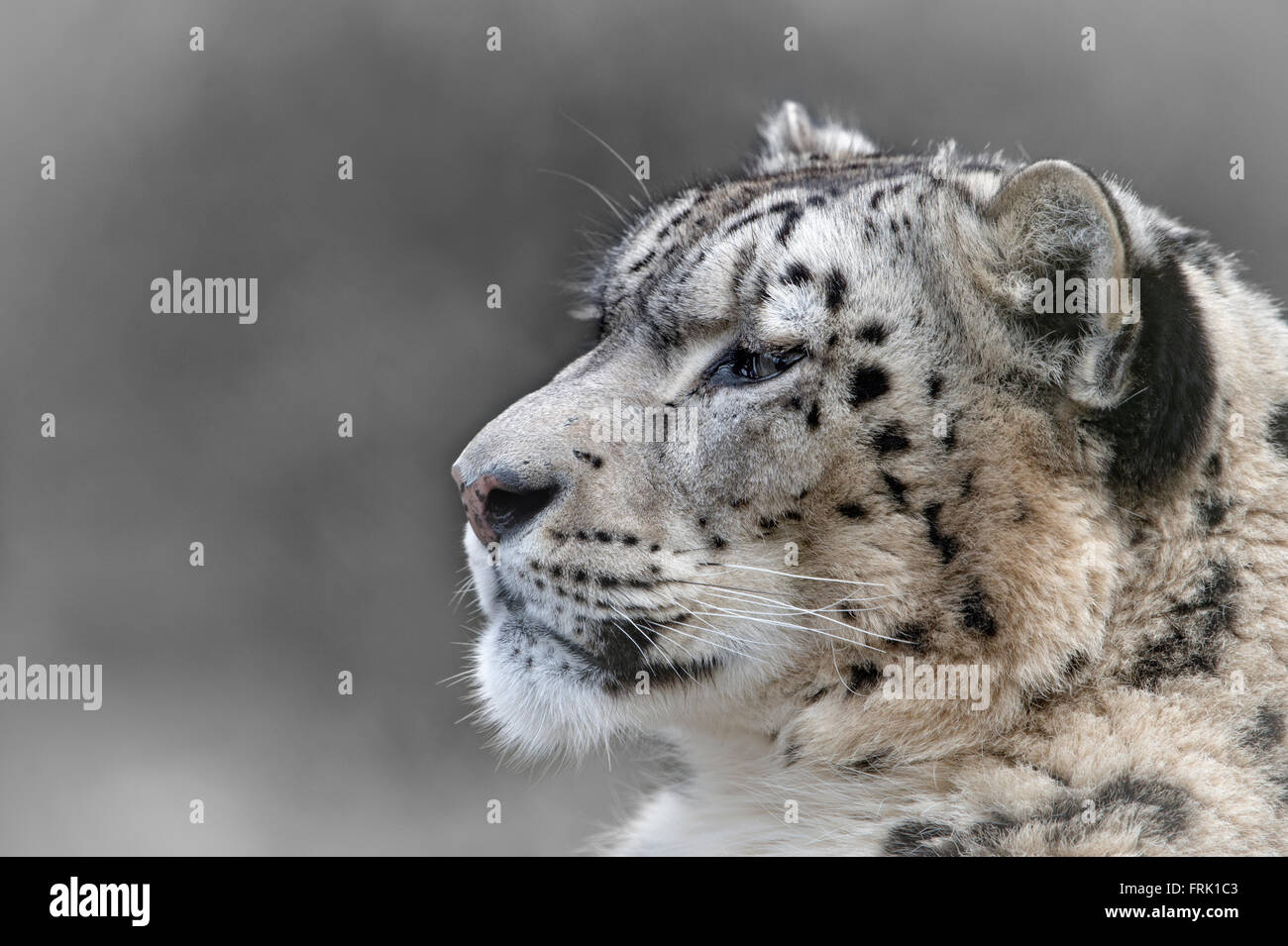 Male snow leopard (profile) - Stock Image