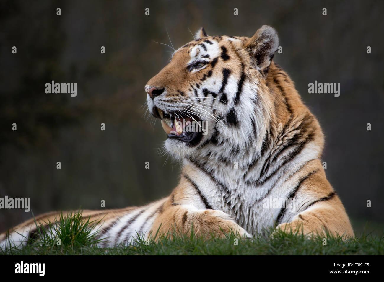 683045674 Tiger Fangs Stock Photos & Tiger Fangs Stock Images - Alamy