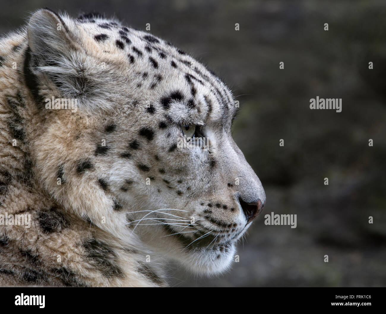Female snow leopard (profile) - Stock Image