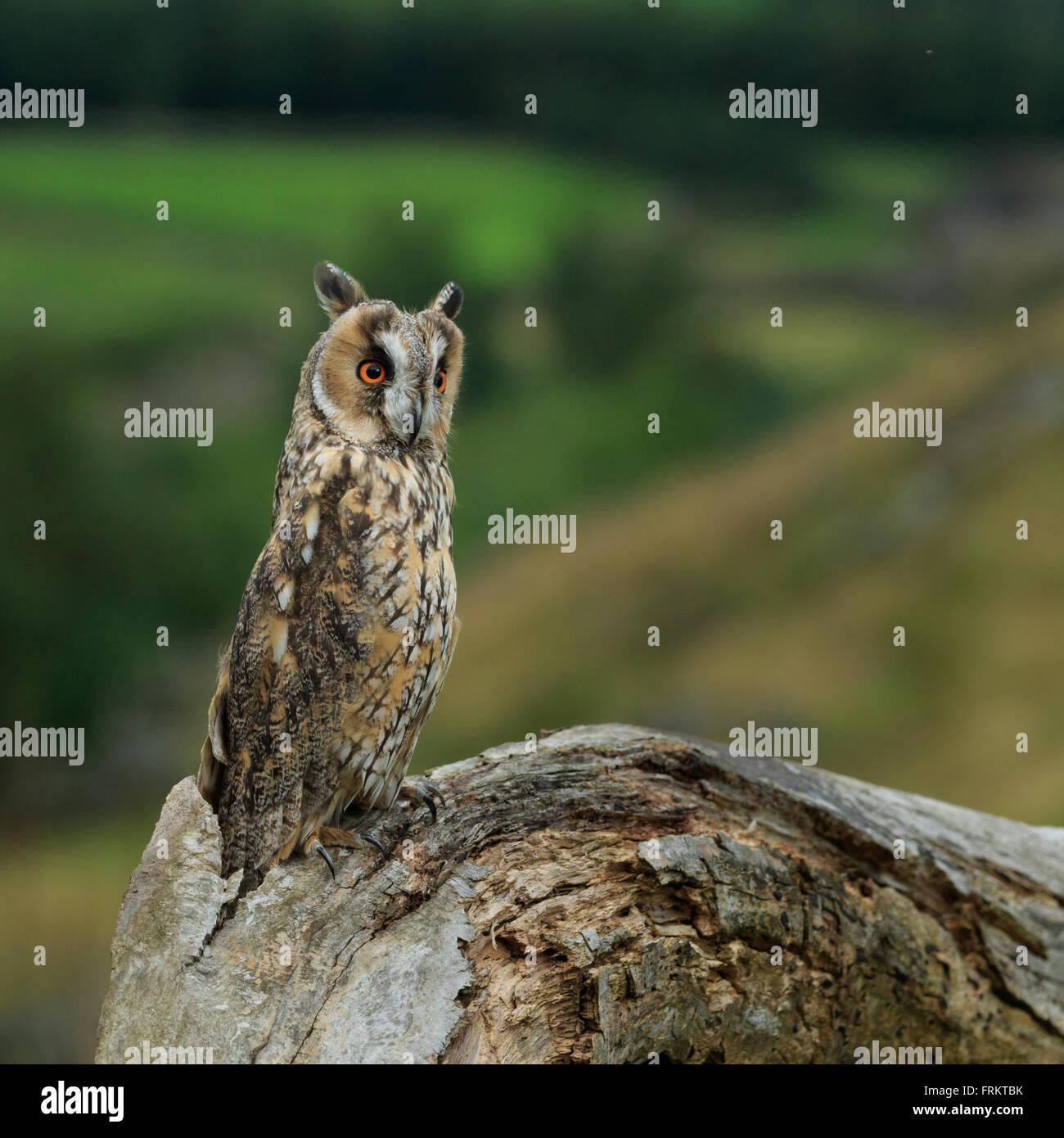 Long-eared owl (Asio otus) North Yorkshire, England, September, 2015 - Stock Image