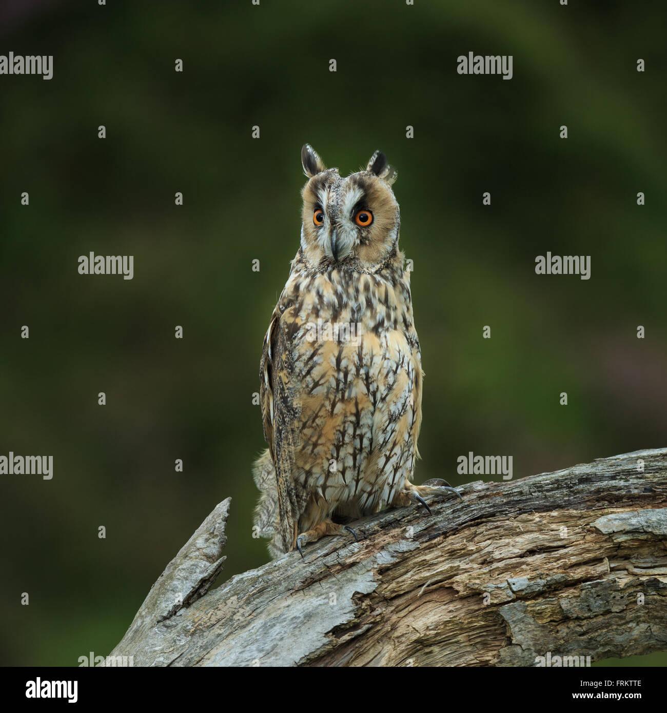 Long-eared owl (Asio otus) - Stock Image