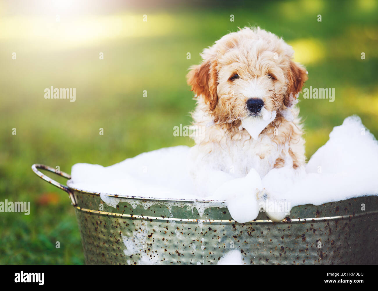 Adorable Cute Puppy Golden Retriever Puppy Taking A