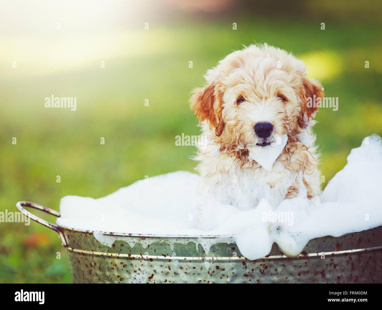 Adorable Cute Puppy Golden Retriever Puppy Taking A Bubble Bath Stock Photo Alamy
