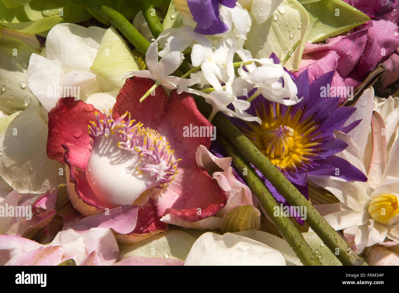 Lotus Flowers Sri Lanka Stock Photos & Lotus Flowers Sri Lanka Stock ...