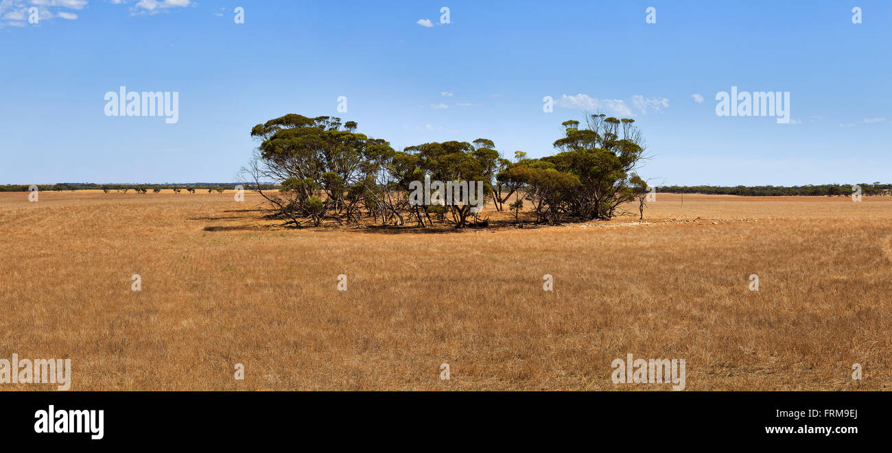 Harvested wheat field in South Australia agricultural belt with ever green gumtrees in the middle on a hot sunny - Stock Image