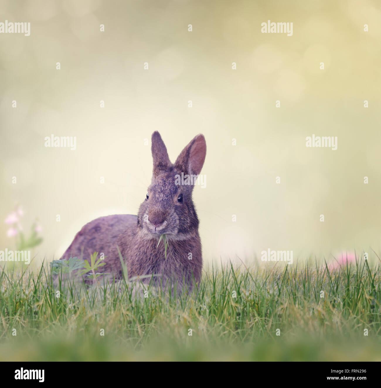 Marsh Rabbit Eating Green Grass - Stock Image
