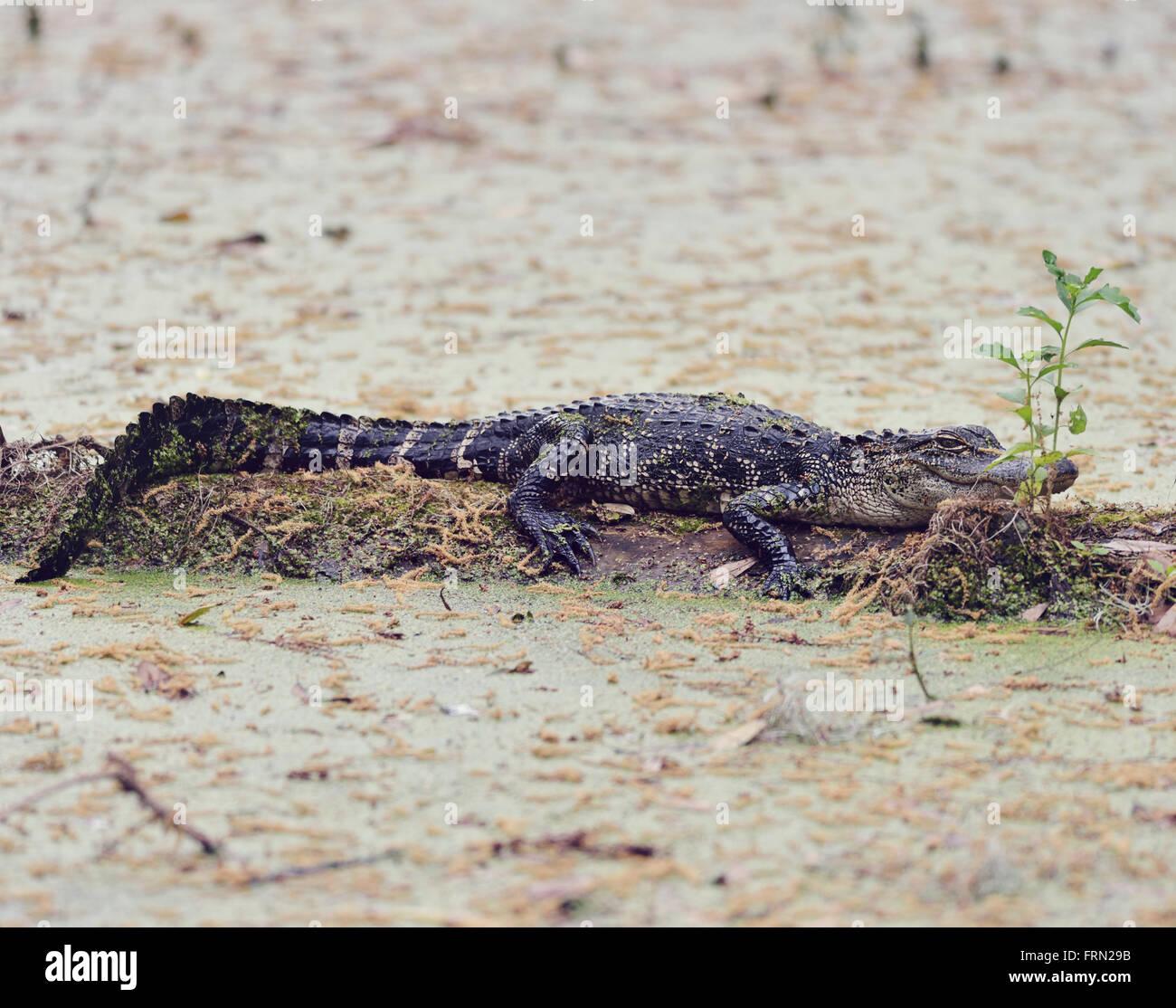 Young Florida Alligator on a Log - Stock Image